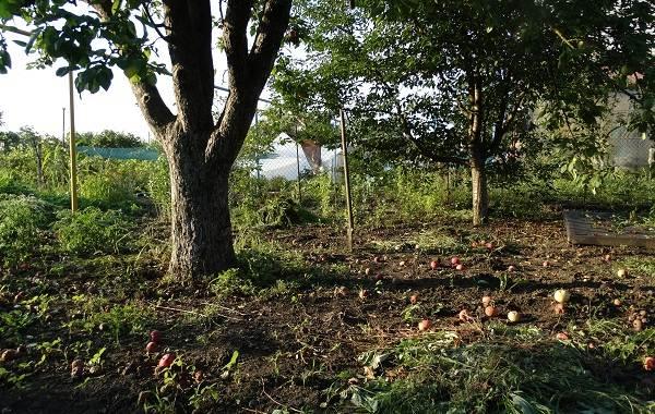 Почему-опадают-плоды-фруктовых-деревьев-и-что-делать-чтобы-спасти-урожай-19