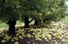 Почему опадают плоды фруктовых деревьев и что делать, чтобы спасти урожай