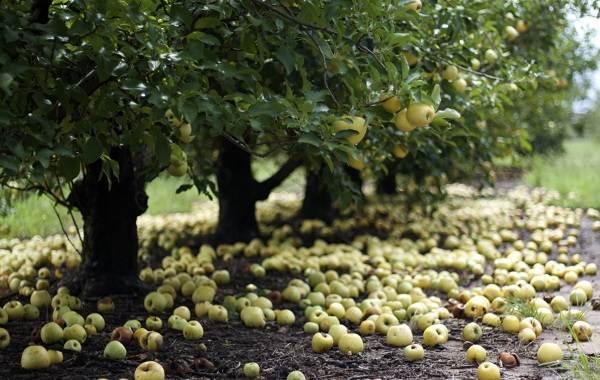 Почему-опадают-плоды-фруктовых-деревьев-и-что-делать-чтобы-спасти-урожай-2