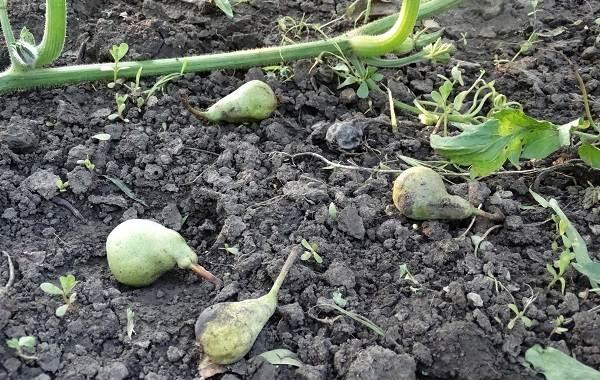Почему-опадают-плоды-фруктовых-деревьев-и-что-делать-чтобы-спасти-урожай-20