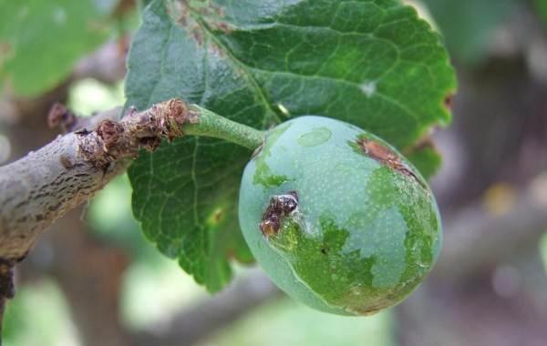 Почему-опадают-плоды-фруктовых-деревьев-и-что-делать-чтобы-спасти-урожай-7