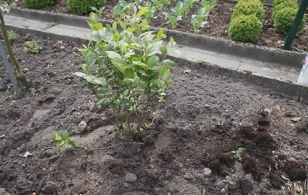 Арония-черноплодная-ягода-Описание-особенности-сорта-и-выращивание-аронии-10