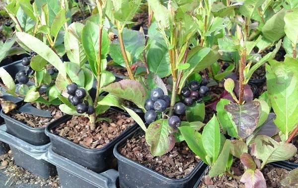 Арония-черноплодная-ягода-Описание-особенности-сорта-и-выращивание-аронии-11