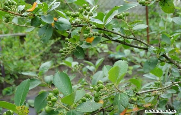 Арония-черноплодная-ягода-Описание-особенности-сорта-и-выращивание-аронии-21