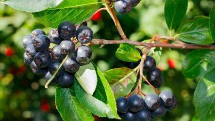 Арония черноплодная ягода. Описание, особенности, сорта и выращивание аронии