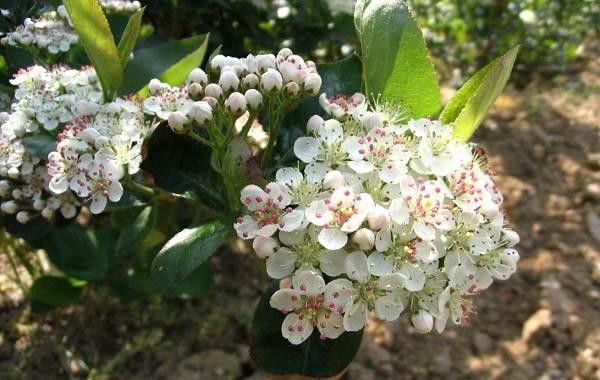 Арония-черноплодная-ягода-Описание-особенности-сорта-и-выращивание-аронии-5