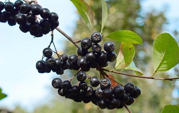 Арония-черноплодная-ягода-Описание-особенности-сорта-и-выращивание-аронии-6