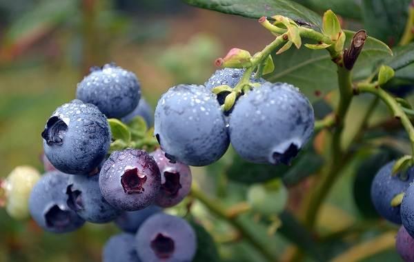 Черника-ягода-Описание-и-особенности-свойства-виды-и-сорта-уход-и-выращивание-черники-11