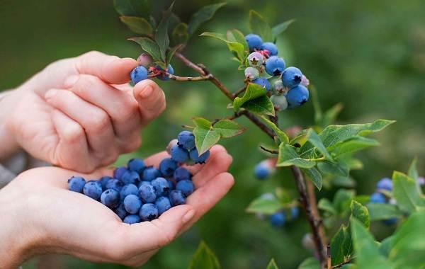 Черника-ягода-Описание-и-особенности-свойства-виды-и-сорта-уход-и-выращивание-черники-13