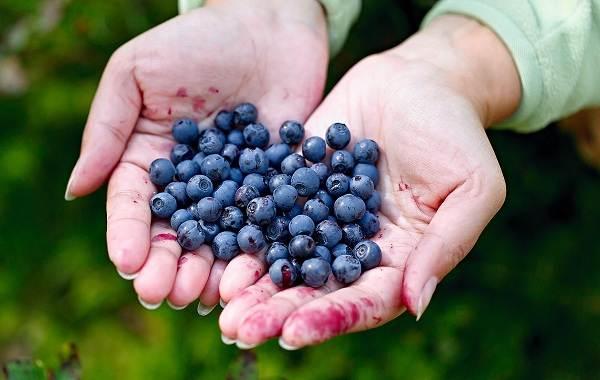 Черника-ягода-Описание-и-особенности-свойства-виды-и-сорта-уход-и-выращивание-черники-2