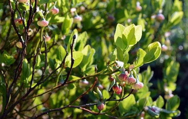 Черника-ягода-Описание-и-особенности-свойства-виды-и-сорта-уход-и-выращивание-черники-3