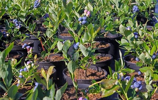 Черника-ягода-Описание-и-особенности-свойства-виды-и-сорта-уход-и-выращивание-черники-4