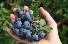 Голубика ягода. Описание, особенности, полезные свойства и выращивание голубики
