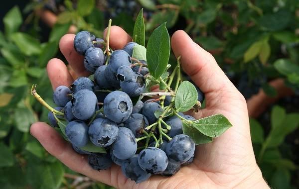 Голубика-ягода-Описание-особенности-полезные-свойства-и-выращивание-голубики-10