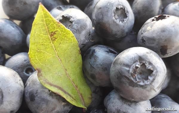 Голубика-ягода-Описание-особенности-полезные-свойства-и-выращивание-голубики-17