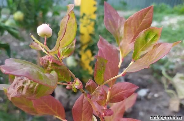 Голубика-ягода-Описание-особенности-полезные-свойства-и-выращивание-голубики-18