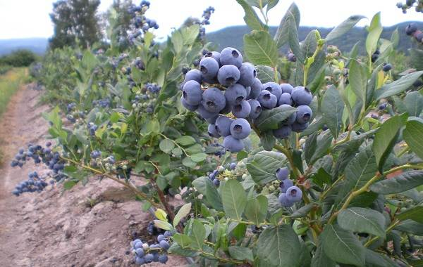 Голубика-ягода-Описание-особенности-полезные-свойства-и-выращивание-голубики-2