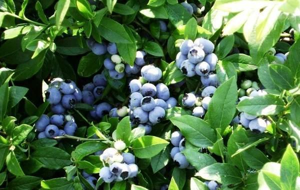 Голубика-ягода-Описание-особенности-полезные-свойства-и-выращивание-голубики-6