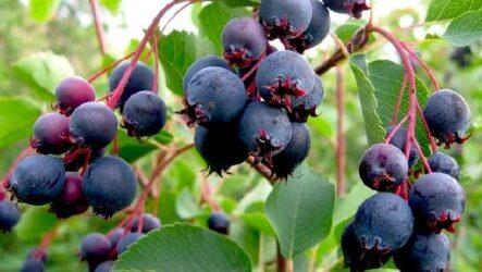 Ирга ягода. Описание, особенности, сорта, свойства и выращивание ирги