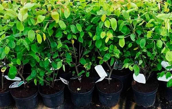 Ирга-ягода-Описание-особенности-сорта-свойства-и-выращивание-ирги-12