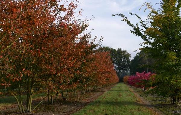 Ирга-ягода-Описание-особенности-сорта-свойства-и-выращивание-ирги-4