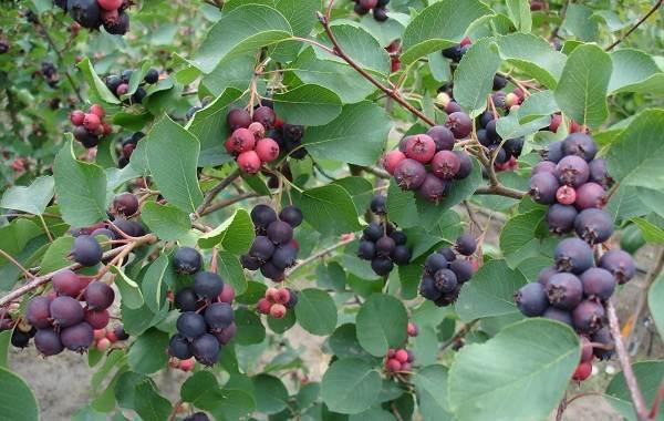 Ирга-ягода-Описание-особенности-сорта-свойства-и-выращивание-ирги-6