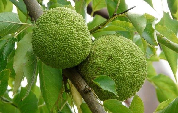 Маклюра-или-адамово-яблоко-Описание-особенности-свойства-и-рецепты-из-маклюры-12