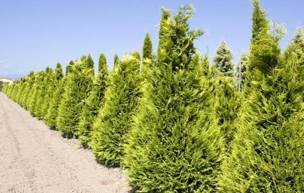 Кипарисовик-растение-Описание-и-особенности-виды-и-сорта-выращивание-и-уход-за-кипарисовиком-10