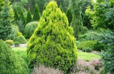 Кипарисовик растение. Описание и особенности, виды и сорта, выращивание и уход за кипарисовиком