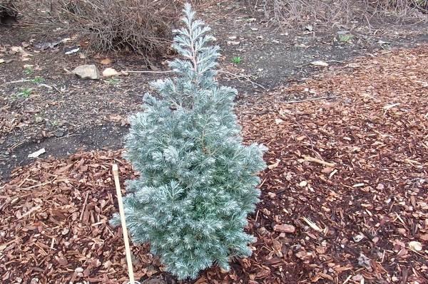 Кипарисовик-растение-Описание-и-особенности-виды-и-сорта-выращивание-и-уход-за-кипарисовиком-20