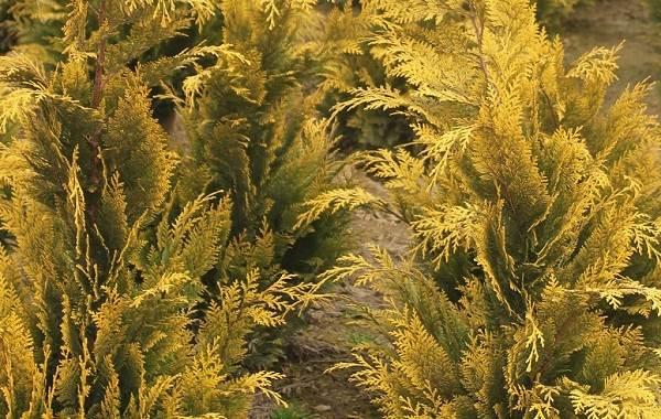 Кипарисовик-растение-Описание-и-особенности-виды-и-сорта-выращивание-и-уход-за-кипарисовиком-21