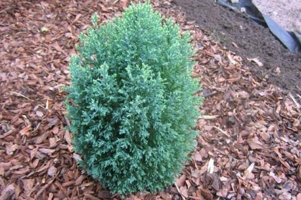 Кипарисовик-растение-Описание-и-особенности-виды-и-сорта-выращивание-и-уход-за-кипарисовиком-26