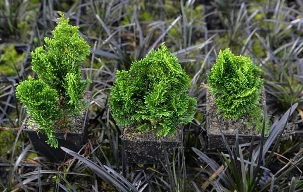 Кипарисовик-растение-Описание-и-особенности-виды-и-сорта-выращивание-и-уход-за-кипарисовиком-28
