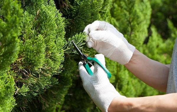 Кипарисовик-растение-Описание-и-особенности-виды-и-сорта-выращивание-и-уход-за-кипарисовиком-30