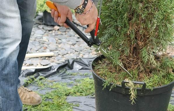 Кипарисовик-растение-Описание-и-особенности-виды-и-сорта-выращивание-и-уход-за-кипарисовиком-32