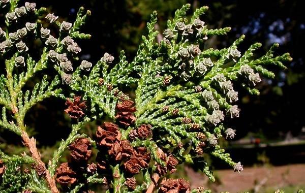 Кипарисовик-растение-Описание-и-особенности-виды-и-сорта-выращивание-и-уход-за-кипарисовиком-4