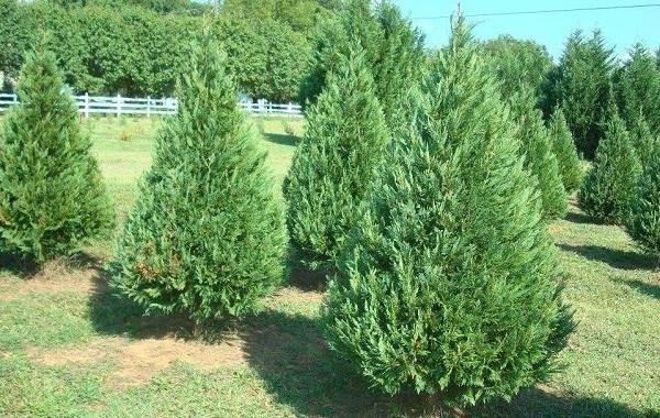 Кипарисовик-растение-Описание-и-особенности-виды-и-сорта-выращивание-и-уход-за-кипарисовиком-41