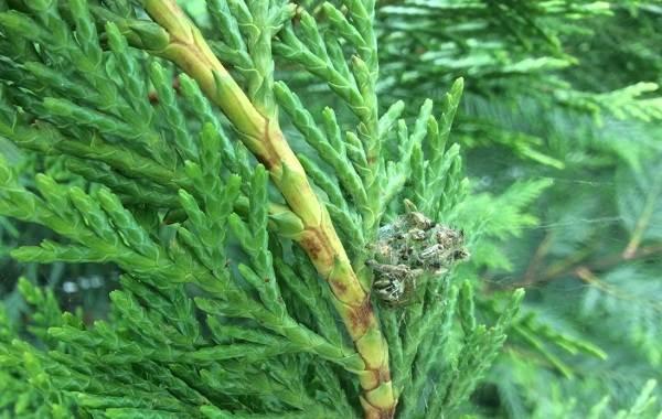 Кипарисовик-растение-Описание-и-особенности-виды-и-сорта-выращивание-и-уход-за-кипарисовиком-43