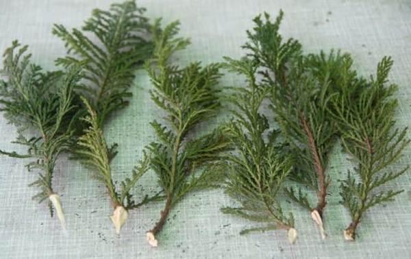 Кипарисовик-растение-Описание-и-особенности-виды-и-сорта-выращивание-и-уход-за-кипарисовиком-45