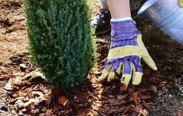 Кипарисовик-растение-Описание-и-особенности-виды-и-сорта-выращивание-и-уход-за-кипарисовиком-47