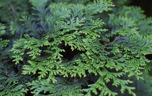Кипарисовик-растение-Описание-и-особенности-виды-и-сорта-выращивание-и-уход-за-кипарисовиком-48