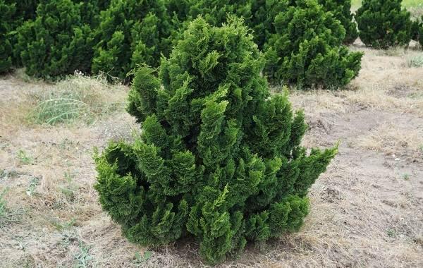 Кипарисовик-растение-Описание-и-особенности-виды-и-сорта-выращивание-и-уход-за-кипарисовиком-6