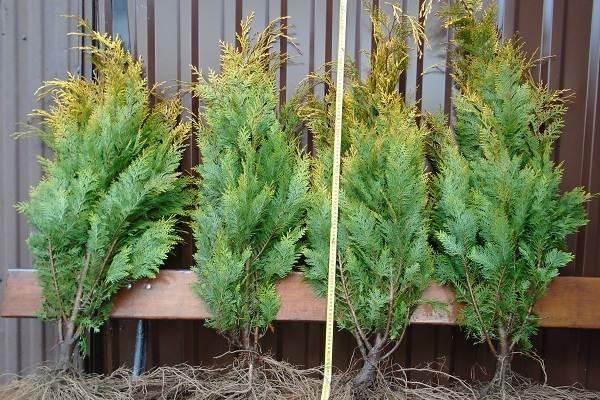 Кипарисовик-растение-Описание-и-особенности-виды-и-сорта-выращивание-и-уход-за-кипарисовиком-9