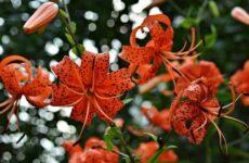 Саранка цветок. Описание, особенности, виды, сорта, выращивание и цена саранки