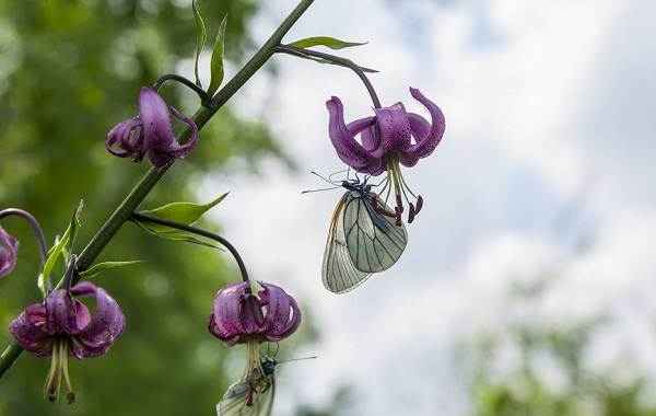 Саранка-цветок-Описание-особенности-виды-сорта-выращивание-и-цена-саранки-15