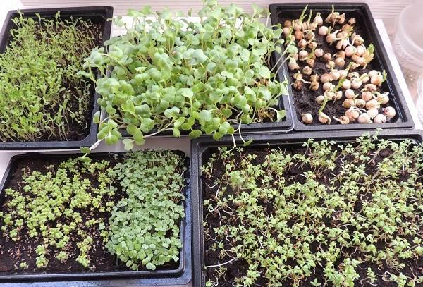 Что-такое-микрозелень-Описание-особенности-выращивание-и-полезные-свойства-14