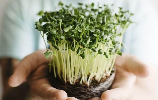 Что-такое-микрозелень-Описание-особенности-выращивание-и-полезные-свойства-2
