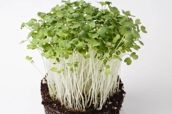 Что-такое-микрозелень-Описание-особенности-выращивание-и-полезные-свойства-8