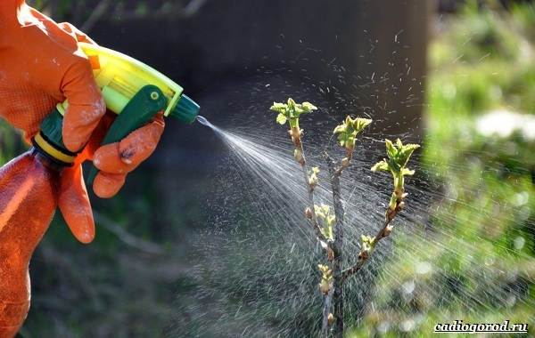 Цикадка-пенница-слюнявая-огородный-вредитель-Его-особенности-и-как-бороться-5