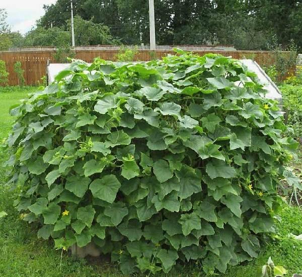 Идеи-выращивания-огурцов-при-минимальной-площади-5